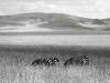 02 hidden zebras